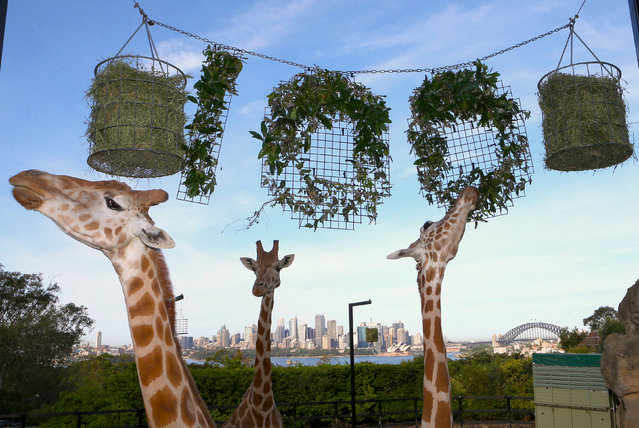 The Sydney Opera House and Harbour Bridge can be seen behind giraffes as they eat leaves shaped into the number 100 during centenary celebrations at Sydney's Taronga Zoo, Australia, October 7, 2016. (Photo by Rick Stevens/Reuters)