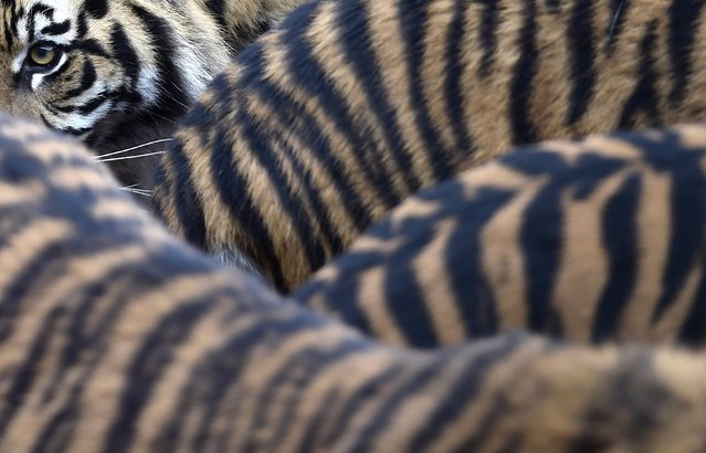 Sumatran tiger cubs and their parents walk around their enclosure at London Zoo in London, January 5, 2015. The annual stock take and animal count, a requirement of London Zoo's license, included additions to the international conservation breeding programme such as the three tiger cubs and Philippine crocodiles. (Photo by Toby Melville/Reuters)