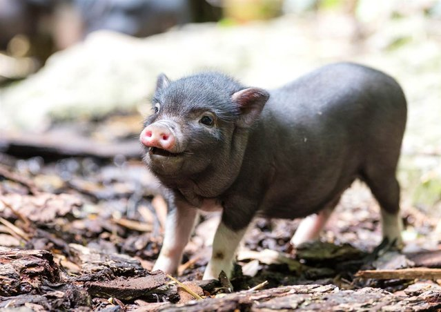 One of eight miniature pigs, born to parents Jack and Jill, runs around at Switzerland's Zoo Basel in this photo released on May 21, 2013. (Photo by Zoo Basel)