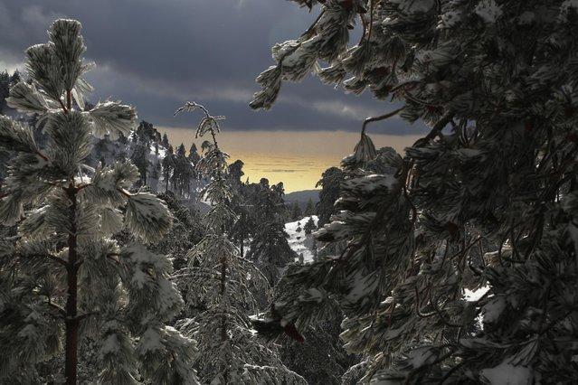 The view of the sea near the coastal city of Limassol is seen in the background through the fir trees after four-days of heavy snow on Troodos mountain, in Cyprus, Thursday, January 8, 2015. Cyprus is in the grip of a mid-winter storm bringing heavy rains, low temperatures and snow in the Troodos mountain range. (Photo by Petros Karadjias/AP Photo)
