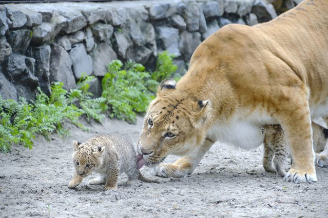 In this Tuesday, June18, 2013 photo Zita, a liger, half-lioness, half-tiger, licks her one month old liliger cub in the Novosibirsk Zoo. The cub's father is a lion, Sam. (Photo by Ilnar Salakhiev/AP Photo)