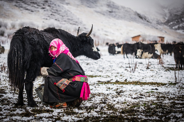 """Milking a Yak"". Nomad woman milking a yak on the grasslands of Sichuan, China after a snowfall the night before. (Photo and caption by John Quintero/National Geographic Traveler Photo Contest)"