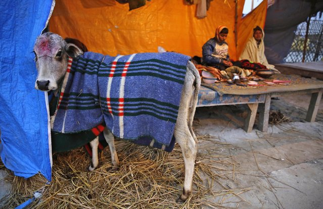 """A cow stands covered in a woolen blanket to keep it warm at """"Sangam"""", the confluence of holy rivers of Ganges, Yamuna and the mythical Saraswati, during the annual traditional fair of Magh Mela in Allahabad, in the northern Indian state of Uttar Pradesh, India, Thursday, January 15, 2015. (Photo by Rajesh Kumar Singh/AP Photo)"""