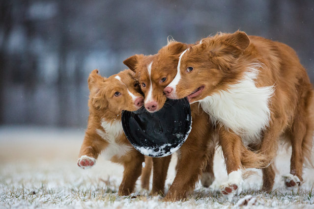Third place, Dogs at Play. Sarah Beeston took this photo of Nova Scotia duck tolling retrievers Daffy, Taz, and Wile E playing with a frisbee in Indiana, US. (Photo by Sarah Beeson/Dog Photographer of the Year 2018)