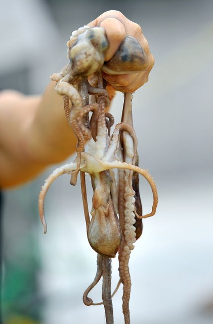 A South Korean woman holds up live octopus during an event to promote a local food festival in Seoul on September 12, 2013. (Photo by Jung Yeon-Je/AFP Photo)