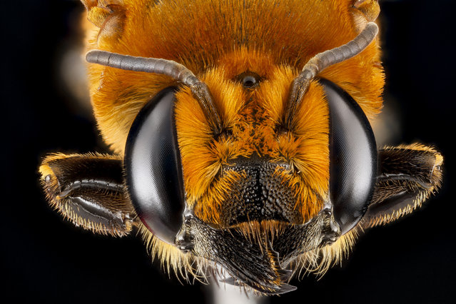 Megachile lanata, female, GTMO, Cuba. (Photo and caption by Sam Droege/USGS Bee Inventory and Monitoring Lab)