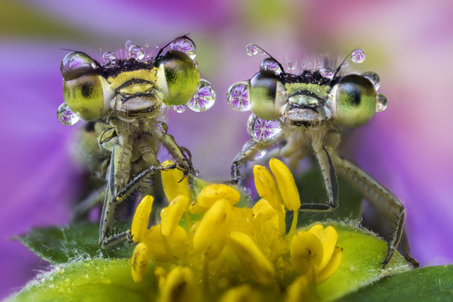 Damselflies covered in dew rest on a wild flower by the Po River, northern Italy on August 15, 2016. (Photo by Alberto Ghizzi Panizza/Barcroft Images)
