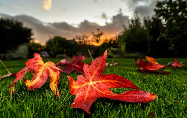 A leaf from a sweetgum tree (Liquidambar styraciflua) lies on the grass at Godewaersvelde early October 27, 2017. (Photo by Philippe Huguen/AFP Photo)