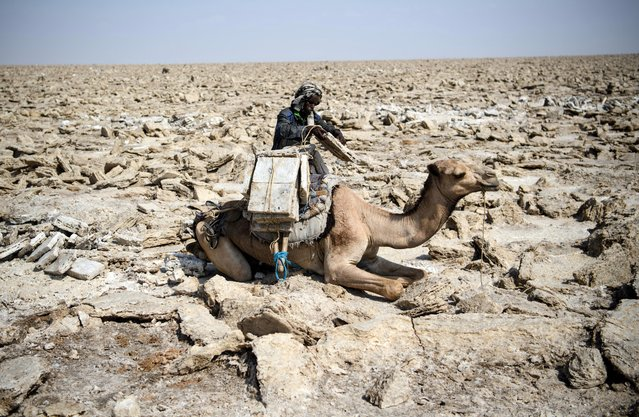 Camels are loaded with salt blocks mined by hand in the Danakil Depression on January 22, 2017 in Dallol, Ethiopia. (Photo by Carl Court/Getty Images)