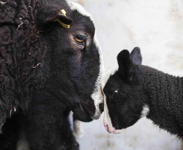 Alice the Zwartbles ewe has become the proud mum of twins Tweedle Dum and Tweedle Dee at Checkendon, Oxfordshire, Britain on March 1, 2106. A week ago the terrible two were born – bearing the distinctive white face and black body typical of their Dutch breed. (Photo by David Hartley/Rex Shutterstock via ZUMA Press)