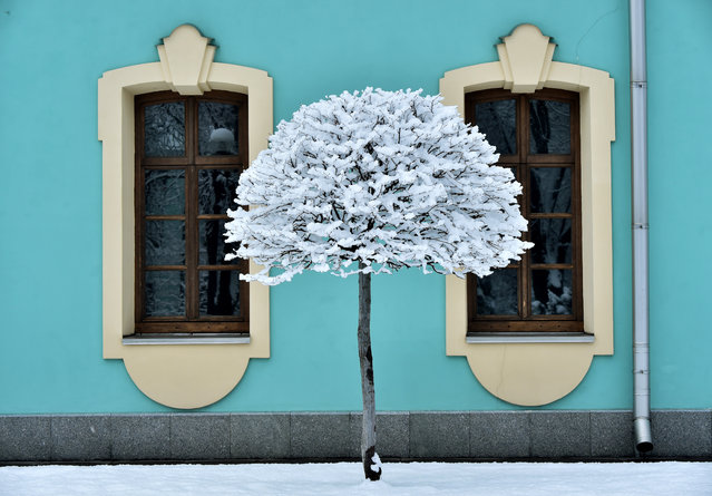 A picture shows a tree covered with snow after heavy snow fall in the Ukrainian capital Kiev, on February 6, 2019. (Photo by Sergei Supinsky/AFP Photo)
