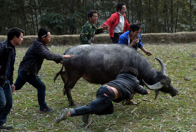 This photo taken on February 4, 2014 shows villagers trying to stop a buffalo fleeing during a traditional Chinese New Year buffalo fighting competition at the Miao Minority village of Biasha in Guizhou Province.  The fights which date back to the 15th century see rival Miao minority villages competing against each other for the honor of champion buffalo. (Photo by Mark Ralston/AFP Photo)