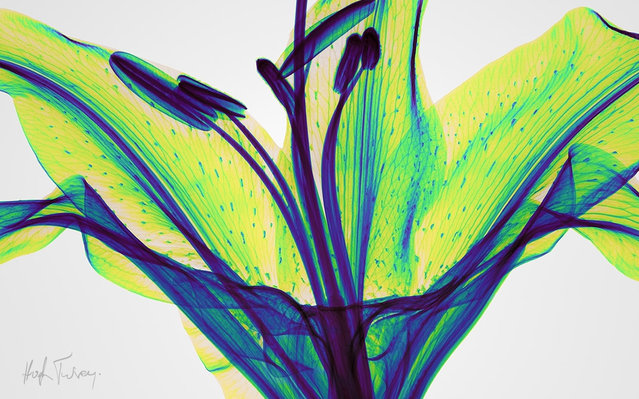 An x-ray of a lily flower, taken by British artist and photographer Hugh Turvey in London, England. (Photo by Hugh Turvey/SPL/Barcroft Media)