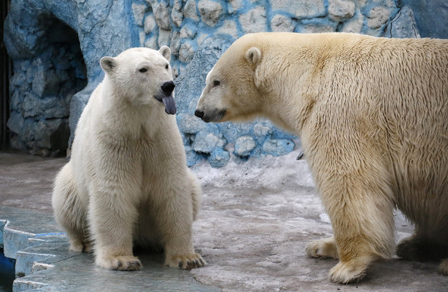 A couple of polar bears, Felix (L), a nine-year-old, and Aurora, a six-year-old, is seen inside its enclosure at the Royev Ruchey Zoo in Krasnoyarsk, Siberia, Russia, March 29, 2016. (Photo by Ilya Naymushin/Reuters)