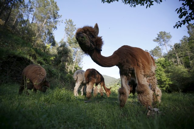 Alpacas of Lisa Vella-Gatt (not pictured) graze at her farm near Benfeita, Portugal May 11, 2015. (Photo by Rafael Marchante/Reuters)