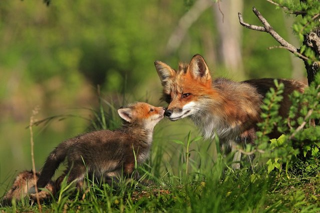 """""""A kiss for mum in the woodland sun"""". (Photo by Ardea Wildlife Pets Environment/Caters News)"""