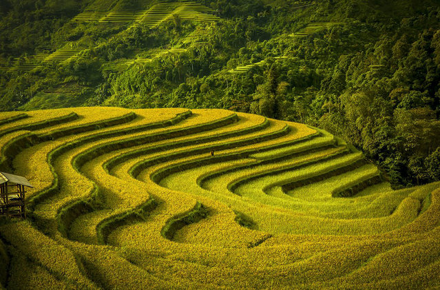Terraced fields during harvest season. Mu Cang Chay, Vietnam. (Photo by Vo Anh Kiet/Smithsonian.com)