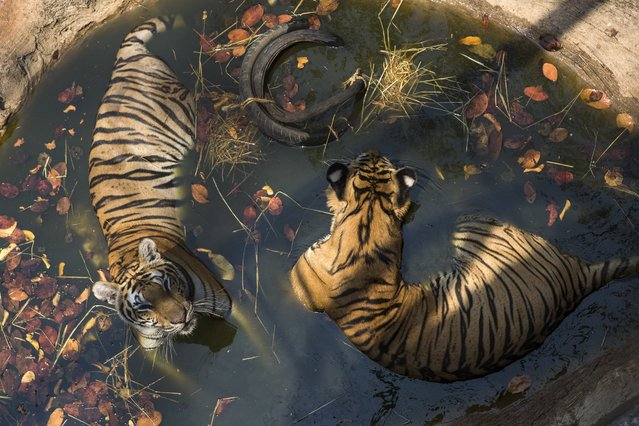 A pair of tigers soak in a shallow pool at Tiger Temple, a Buddhist monastery where paying visitors can interact with young adult tigers, in Kanchanaburi, Thailand, March 16, 2016. The attraction, near the Myanmar border, started collecting the animals 15 years ago when villagers brought an injured tiger cub to the local abbot, who agreed to care for it. Today there are nearly 150 tigers at the monastery. (Photo by Amanda Mustard/The New York Times)