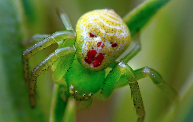 The clown face spider. (Photo by Darlyne Murawsk/National Geographic Creative/Caters News)