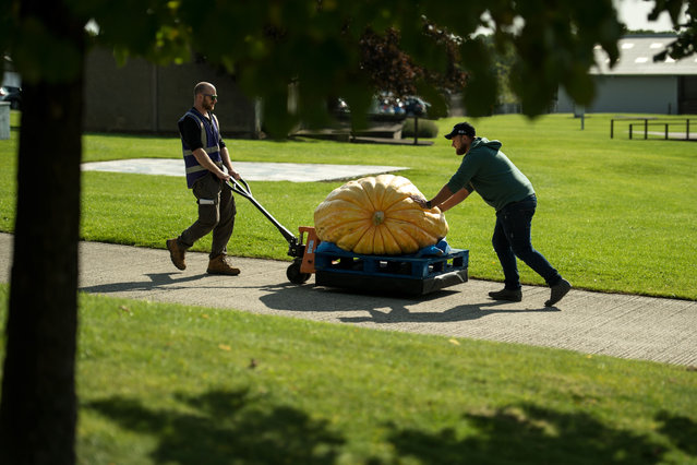 Grower Richard Mann (R) helps a member of show staff manoeuvre his pumpkin, weighing 291.7kg, which won first prize in the heaviest pumpkin category of the giant vegetable competition, on the first day of the Harrogate Autumn Flower Show held at the Great Yorkshire Showground, in Harrogate, northern England, on September 13, 2019. (Photo by Oli Scarff/AFP Photo)