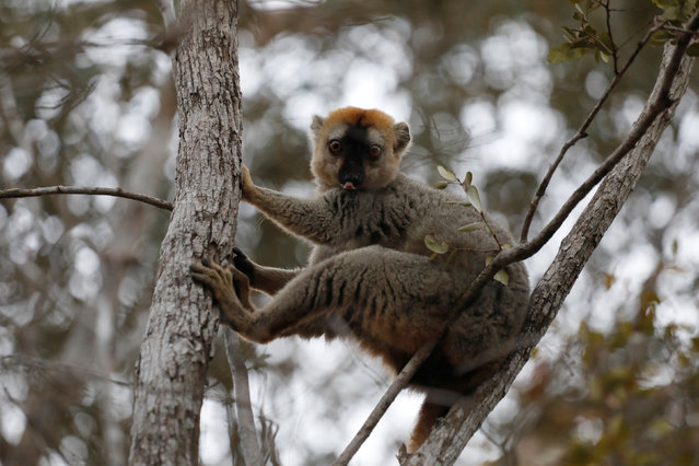 A red-fronted brown lemur is seen at the Kirindy forest reserve near the city of Morondava, Madagascar, September 1, 2019. (Photo by Baz Ratner/Reuters)