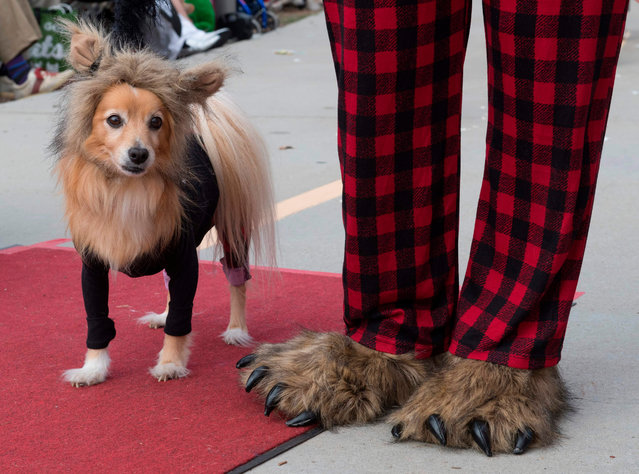 Dogs walk on the red carpet during the annual Haute Dog Howl'oween parade in Long Beach, California, on October 27, 2019. (Photo by Mark Ralston/AFP Photo)