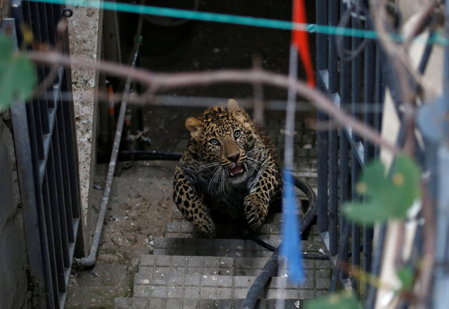 A wild leopard runs on the stairs as it tries to escape from a compound of a house in Kathmandu, Nepal June 1, 2016. (Photo by Navesh Chitrakar/Reuters)