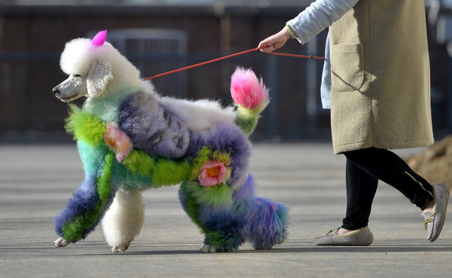 A woman walks a dog with styled and dyed fur on a street in Shenyang, Liaoning province, China on December 25, 2018. (Photo by Reuters/China Stringer Network)