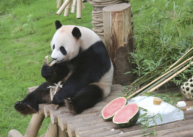 Chinese panda Le Bao eats a bamboo sprout in a celebration for his fifth birthday on July 28, at the Everland amusement park in Yongin, South Korea, Wednesday, July 12, 2017. (Photo by Ahn Young-joon/AP Photo)