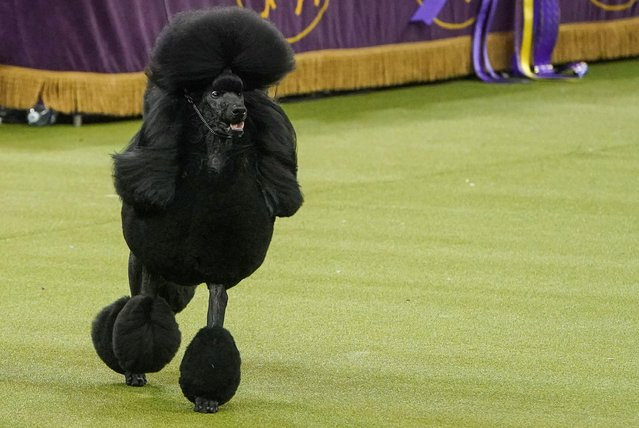 Siba the Standard Poodle competes during the Best in Show competition at the 2020 Westminster Kennel Club Dog Show at Madison Square Garden in New York City, New York, U.S., February 11, 2020. (Photo by Carlo Allegri/Reuters)