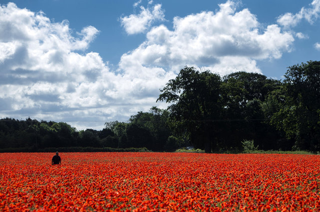 A poppy field near York as the UK and France prepare to commemorate the Battle of the Somme on Thursday June 30, 2016. The Queen and senior royals will lead the nation in remembrance to mark the centenary of the Battle of the Somme. Events across the UK and in France will commemorate the start of the battle on July 1 1916, a day that became the bloodiest in British military history with almost 20,000 dead. (Photo by Danny Lawson/PA Wire)