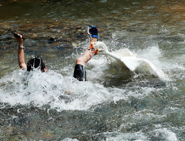 Tourist Lu Chen is attacked by two geese when he strayed too close to their nest, on August 27, 2014. A hapless tourist nearly drowned in a vicious attack by two geese when he strayed too close to their river nest in southern China. (Photo by Europics)