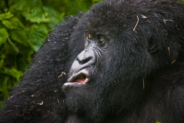 Mountains Gorilla is making grimaces, as he came out of the bush after the rain, in Virunga National Park, Rwanda. (Photo by Josef Friedhuber/Comedy Wildlife Photography Awards/Barcroft Media)