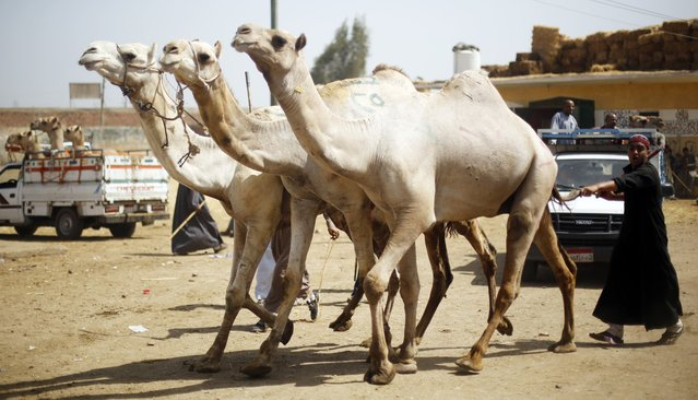 A man walks behind camels at the Birqash Camel Market, ahead of Eid al-Adha or Festival of Sacrifice, on the outskirts of Cairo September 29, 2014. (Photo by Amr Abdallah Dalsh/Reuters)