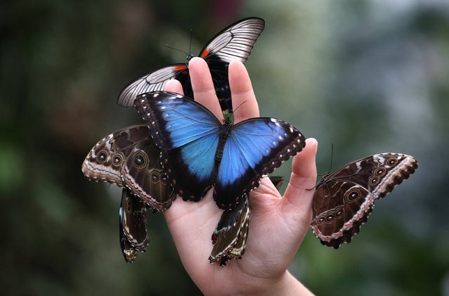 A member of staff holds a handfull of butterflies at The Glasshouse at RHS Wisley Gardens near Woking, England. Rare and exotic butterflies have been placed in The Glasshouse for visitors from January 12 to February 24, 2013. (Photo by Peter Macdiarmid)
