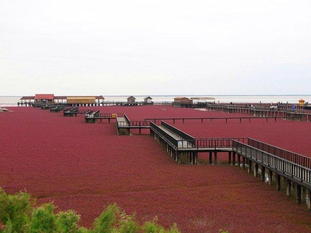 盘锦红海滩 (Panjin Red Beach). (Photo by Beautiful Creation)