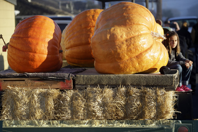 Delphina Bianchi, 10, sits on the bed of a truck carrying giant pumpkins from her grandfather's John Muller's farm at the Annual Safeway World Championship Pumpkin Weigh-Off Monday, October 12, 2015, in Half Moon Bay, Calif. (Photo by Marcio Jose Sanchez/AP Photo)