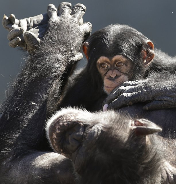 An adult chimp plays with a young chimp at Chimp Haven in Keithville, La