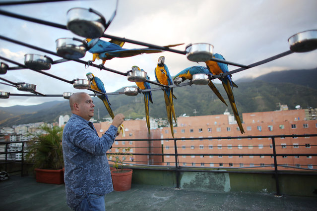 Macaws feed perched on a circular platform with 58 feeder bowls on the roof of apartment in Caracas, Venezuela. (Photo by Ariana Cubillos/AP Photo)