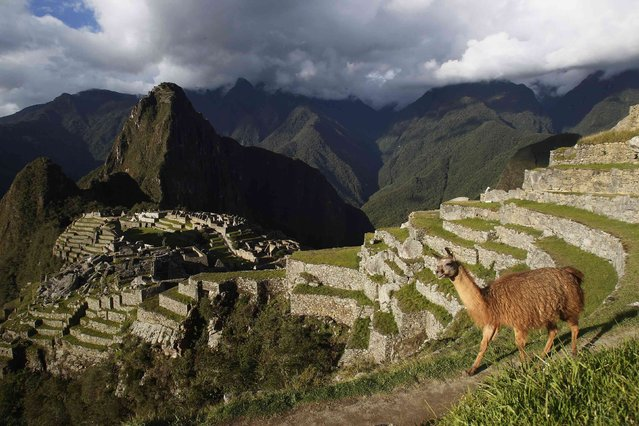 An alpaca is seen near the Inca citadel of Machu Picchu in Cusco December 2, 2014. Machu Picchu, a UNESCO World Heritage Site, is Peru's top tourist attraction, with the government limiting tourists to 2,500 per day due to safety reasons and concerns over the preservation of the ruins. (Photo by Enrique Castro-Mendivil/Reuters)