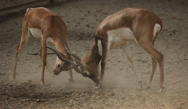Antelopes lock horns in a playful fight at Lucknow Zoological Gardens on December 2, 2014 in Lucknow, India. (Photo by Azam Husain/Barcroft India)