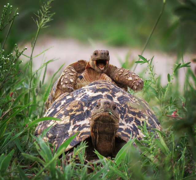 A little leopard tortoise jumps on a friends back, Tarangire National park, Tanzania. (Photo by Brenden Simonson/Barcroft Images/Comedy Wildlife Photography Awards 2016)