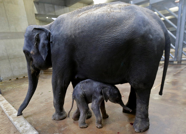 A newly born male Asian elephant calf stands near to its mother Tamara in their enclosure at Prague Zoo, Czech Republic, October 8, 2016. (Photo by David W. Cerny/Reuters)