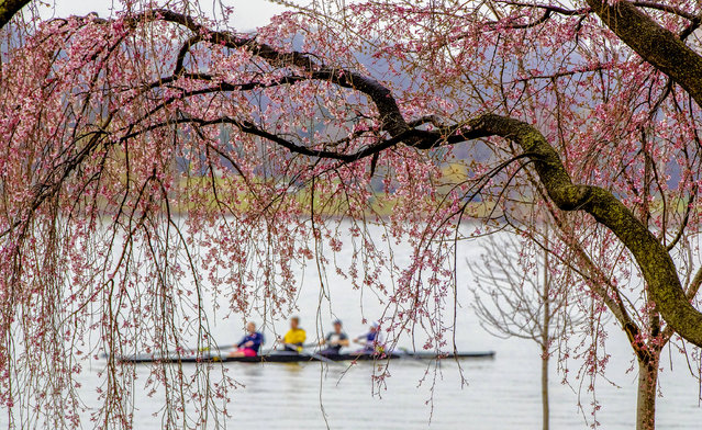 Rowers skim the Potomac River in Washington, Wednesday, March 28, 2018, framed by the emerging blossoms of a weeping cherry tree. The National Park Service has updated its peak bloom forecast for April 8 through April 12, 2018. (Photo by J. Scott Applewhite/AP Photo)