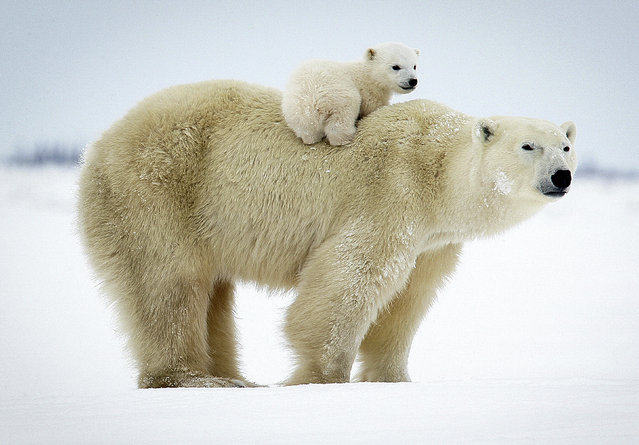 These adorable images of new born polar bears are bound to warm the hearts of even the biggest Ba-humbugs this Christmas. The stunning collection of photographs, taken over the space of ten years, manage to capture the tender bond between both mother and child as they emerge from their den for the very first time. (Photo by David Jenkins/Caters News)