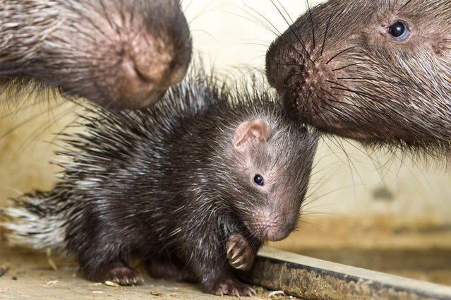 A male baby porcupine is looked after by its parents at Switzerland's Zoo Basel in this photo released on May 21, 2013. The baby was born on April 6. (Photo by Zoo Basel)