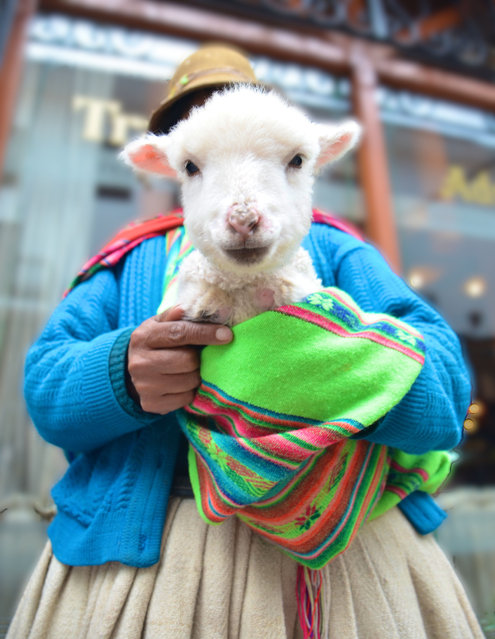"""Lolita the Lamb"". Pictured above is Lolita the Lamb. One of the many lambs whose purity and beauty invoke the traveling visitors into contributing towards the livelihood of their Peruvian owners. Location: Cuzco, Peru. (Photo and caption by Lymaris Roman/National Geographic Traveler Photo Contest)"