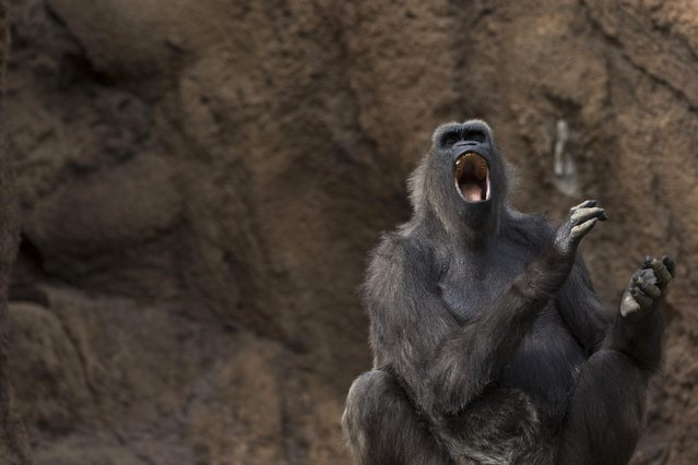 A gorilla yawns in its enclosure at the zoo in Los Angeles, California January 28, 2015. Picture taken January 28, 2015. (Photo by Mario Anzuoni/Reuters)