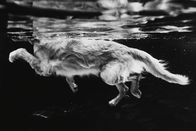Judges' mention, Dogs at Work. Thoven the golden retriever, by Leslie Plesser in the US. (Photo by Leslie Plesser/Dog Photographer of the Year 2018/Shuttersmack LLC)