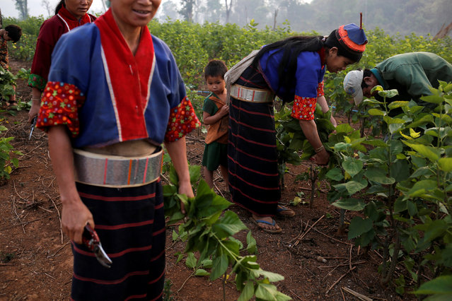 Ethnic Palaung workers collect mulberry leaves to feed silkworms in Wanpaolong village in Lashio District, northern Shan State, Myanmar, April 24, 2018. (Photo by Ann Wang/Reuters)